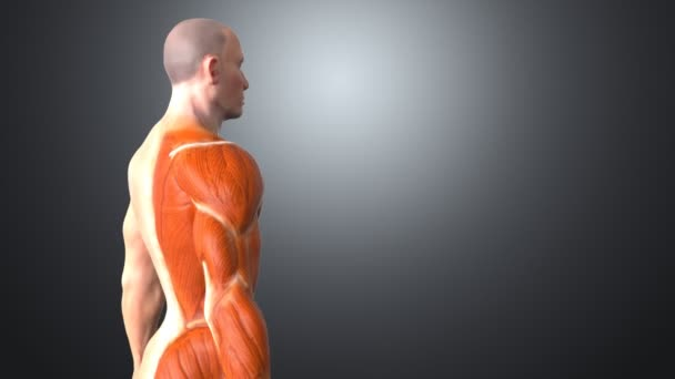 männliche menschliche Anatomie — Stockvideo © julos #95022740