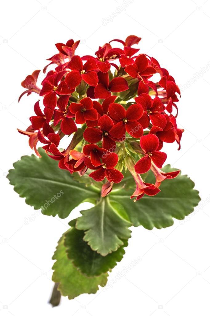 Fleur Kalanchoe Succulentes Tropicales Isole Sur Blanc Backgrou