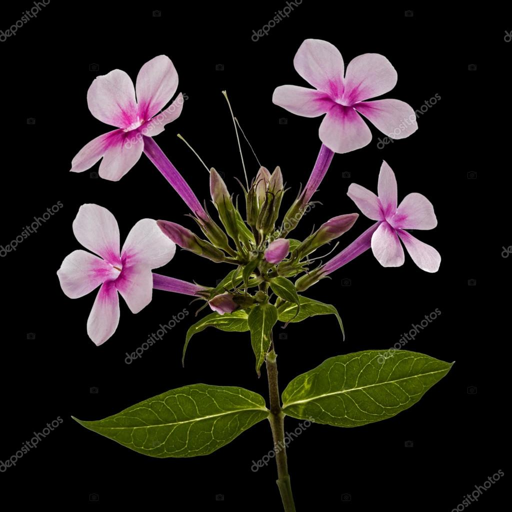 Pink Flower Phlox Isolated On Black Background Stock Photo