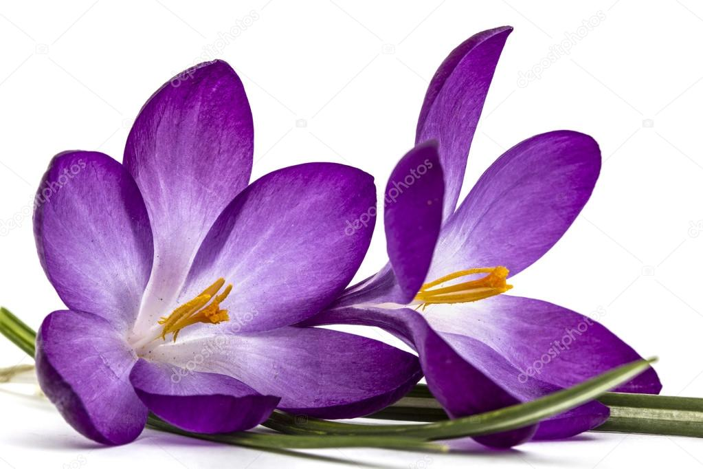 Purple flowers of crocus isolated on white background stock photo purple flowers of crocus isolated on white background stock photo mightylinksfo