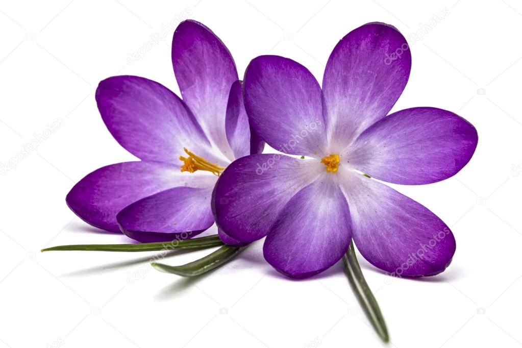 Purple Flowers Of Crocus Isolated On White Background Stock Photo