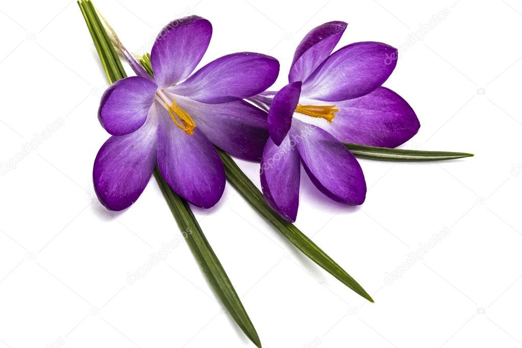 Purple flowers of crocus isolated on white background stock photo purple flowers of crocus isolated on white background stock photo mightylinksfo