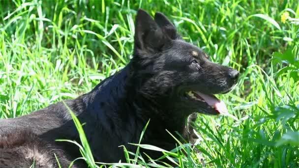 Německý ovčák, pes
