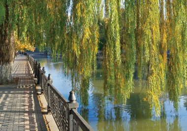 Hybrid weeping willow