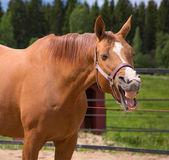 Fotografie Yawning horse