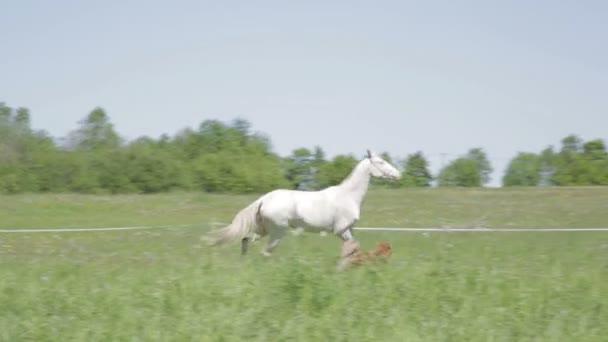 Achal teke kůň