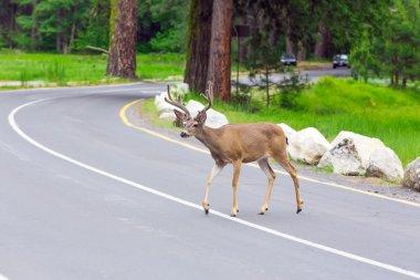Deer on the street.