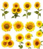 Slunečnice kolekce