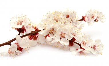 Apricot blossom branch isolated on white background stock vector