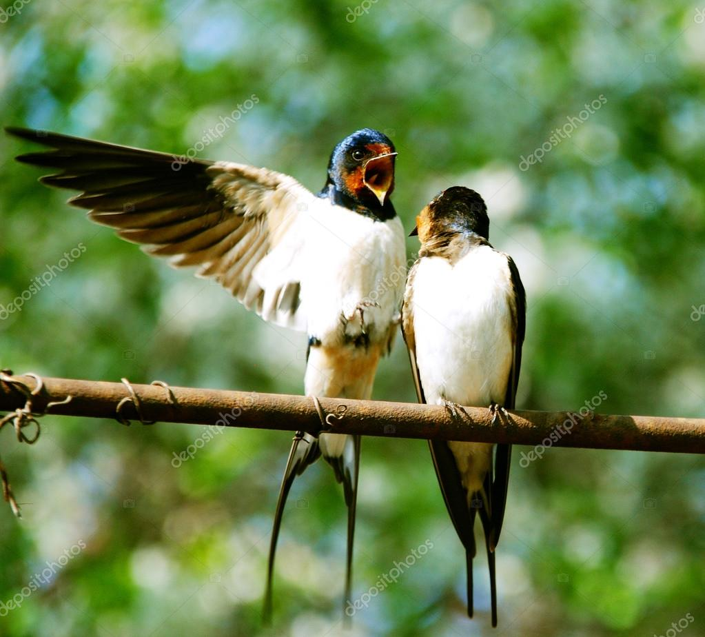 Two beautiful swallows