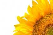 žluté letní slunečnice