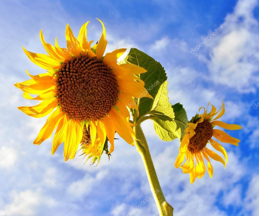 yellow summer Sunflower