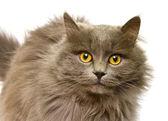 Fotografie Fluffy British cat
