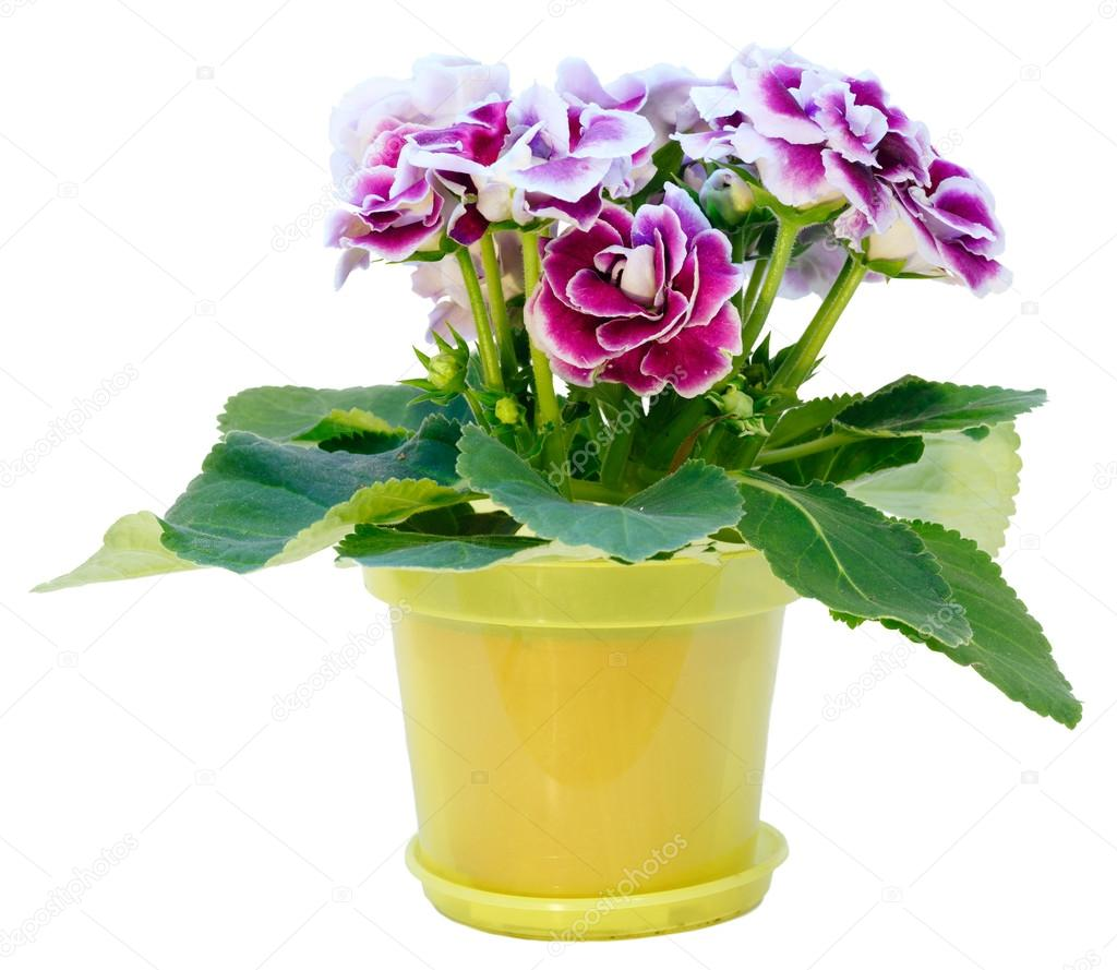 Gloxinia Plant With Violet White Flowers Isolated On White Stock