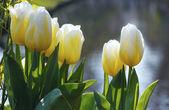 krásné bílé tulipány closeup
