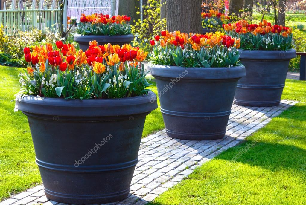 rojo amarillo tulipanes en macetas grandes en el parque de la primavera foto de - Macetas Grandes