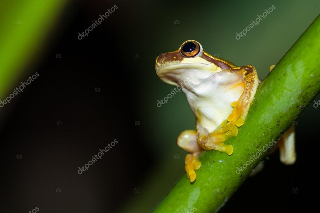 Grenouille Costa Rica grenouille de forêt tropicale au costa rica — photographie wollertz