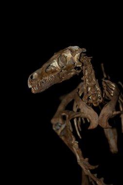 reconstructed dinosaur