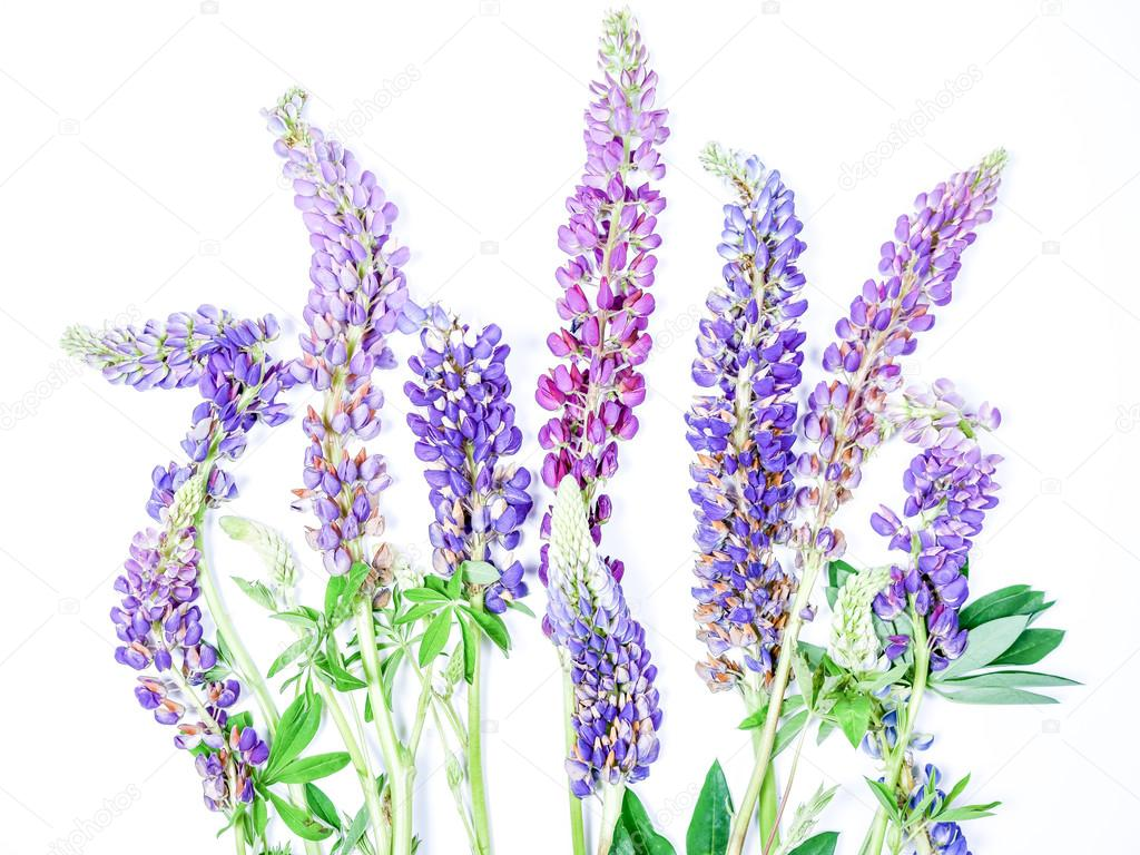 Fresh Cut Lupine Flower Stocks