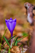 Crocus is a genus of flowering plants in the iris family comprising 90 species of perennials growing from corms.