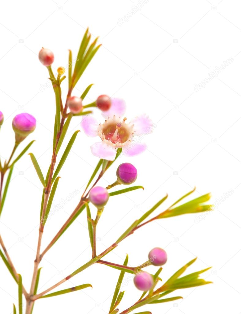 Wax Flower Isolated On White Background Stock Photo Tamarak