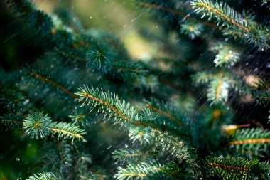 Needles of spruce branches on the background of splashing water
