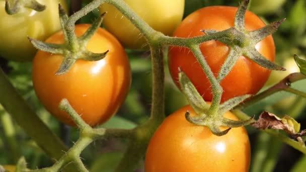 Rajčata dozrát na větvi