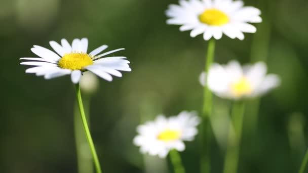 Closeup bílé sedmikrásky na rozmazané pozadí