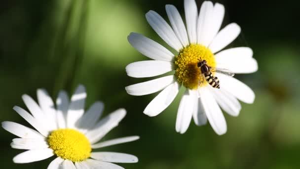 Hmyz, sběr pylu na daisy