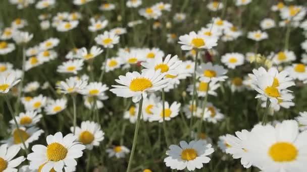 pole daisy closeup