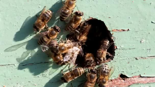 Honigbienen am Eingang zum Bienenstock