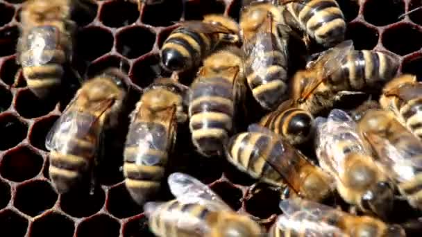 Mézelő méhek a méhsejt
