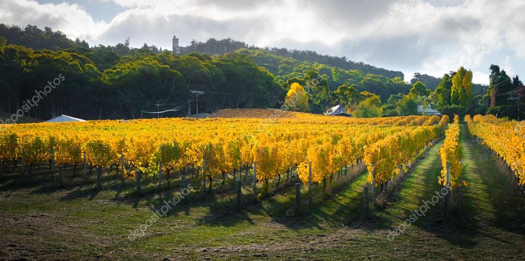 Golden Autumn Vineyard