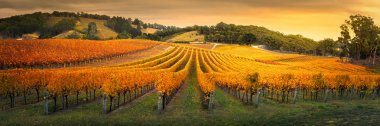 Golden Vineyard in South Australia