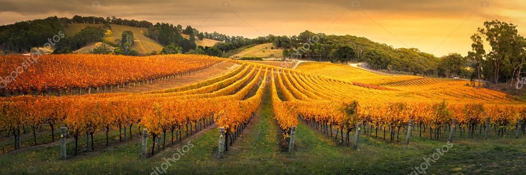 Golden Vineyard in South Australia