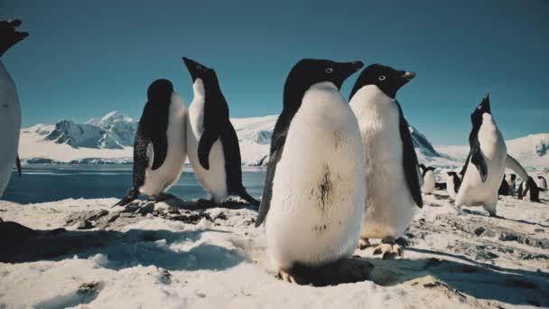 Vicces pingvinek csapkodják a szárnyakat közelről. Antarktisz.