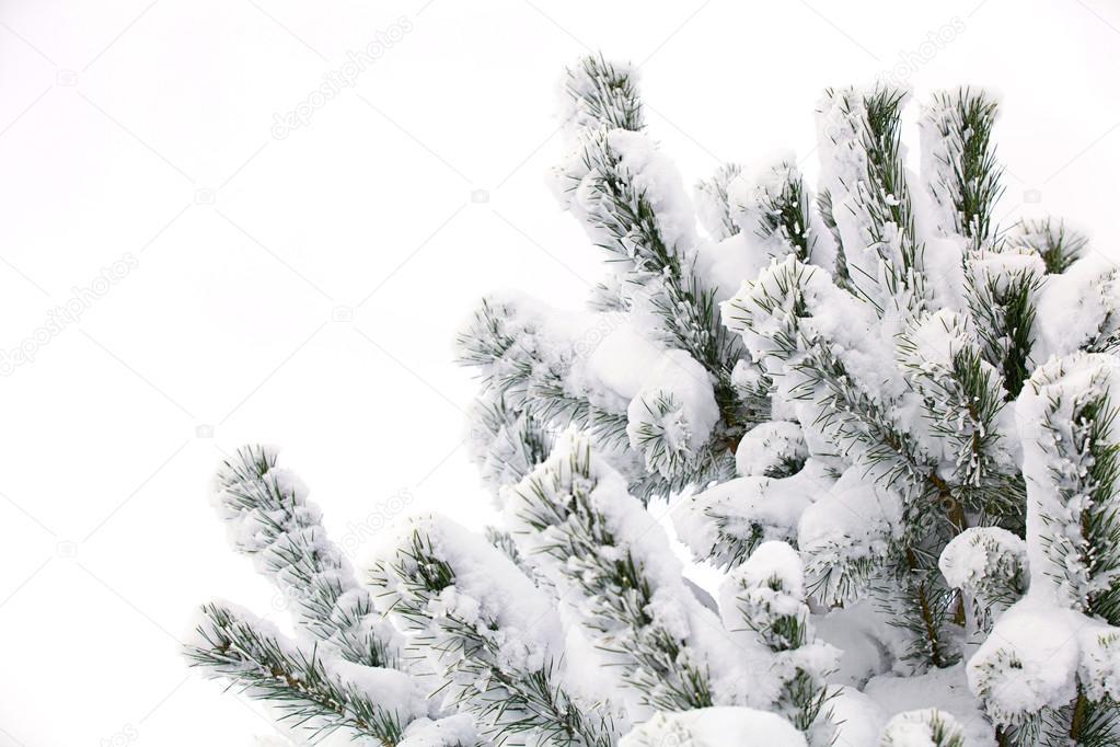 winterchistmas tree in snow