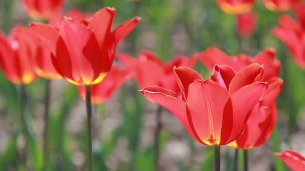 Krásný pohled na barevné tulipány