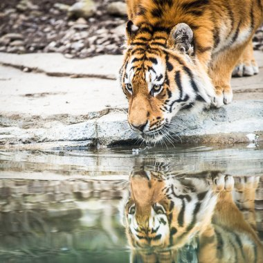 Indian Tiger Drinking Water