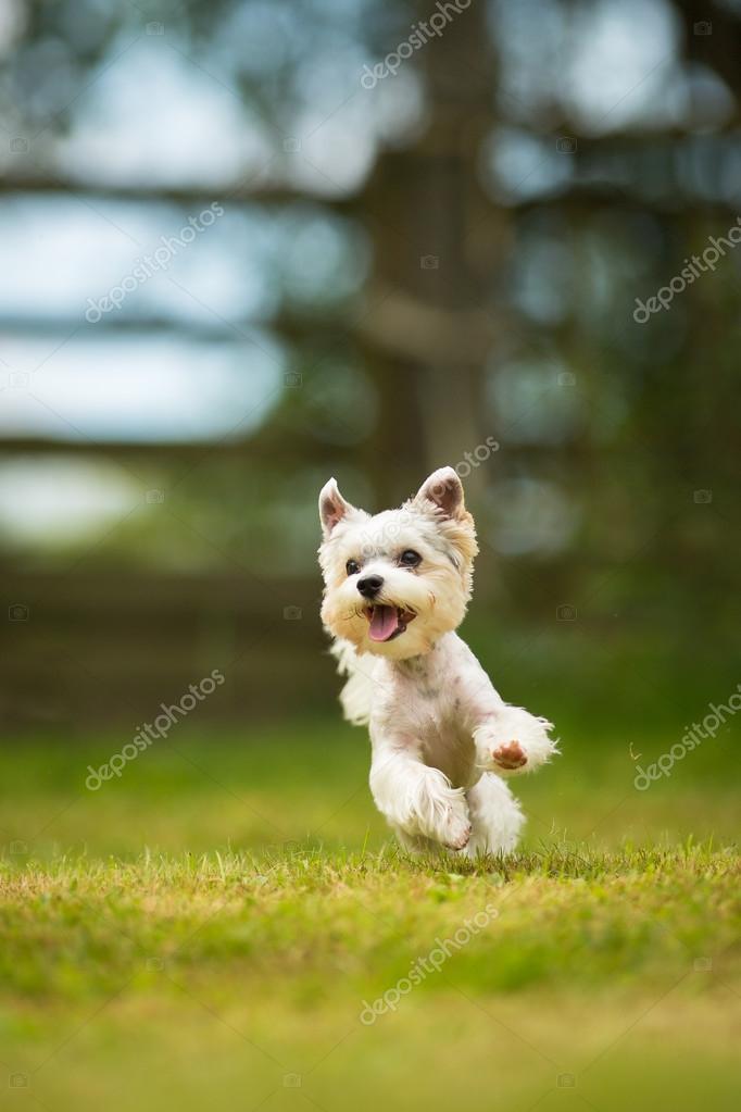 Cute little dog doing agility drill