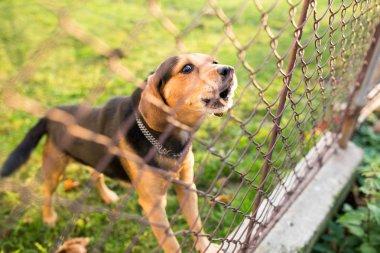 Cute guard dog behind fence, barking