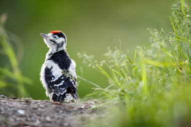 Young Great Spotted Woodpecker on the ground right