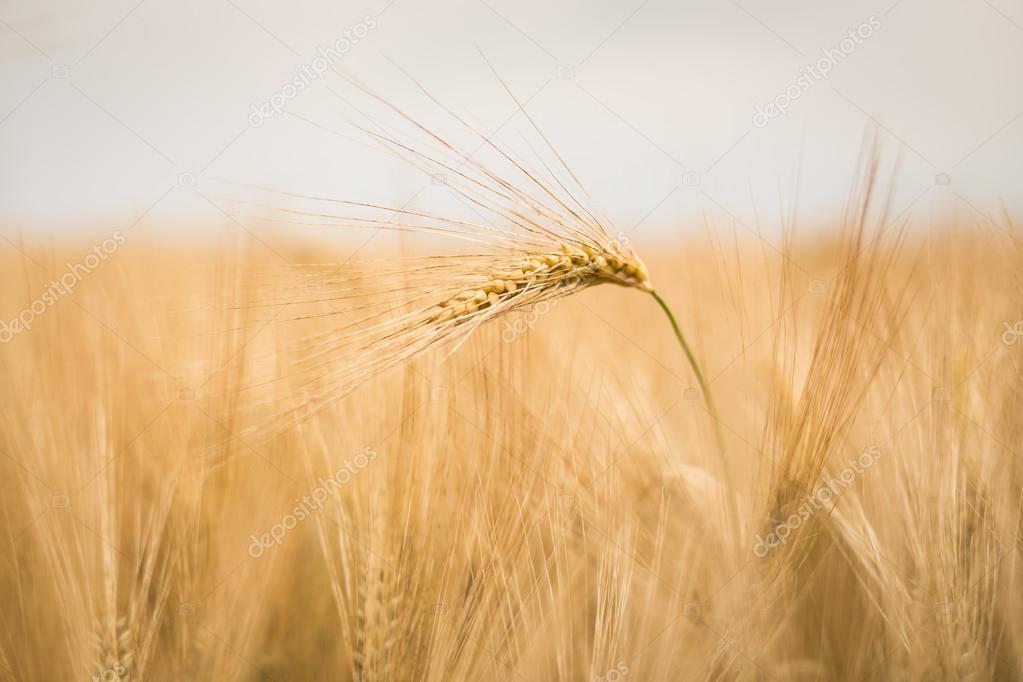 Ripe barley (lat. Hordeum)