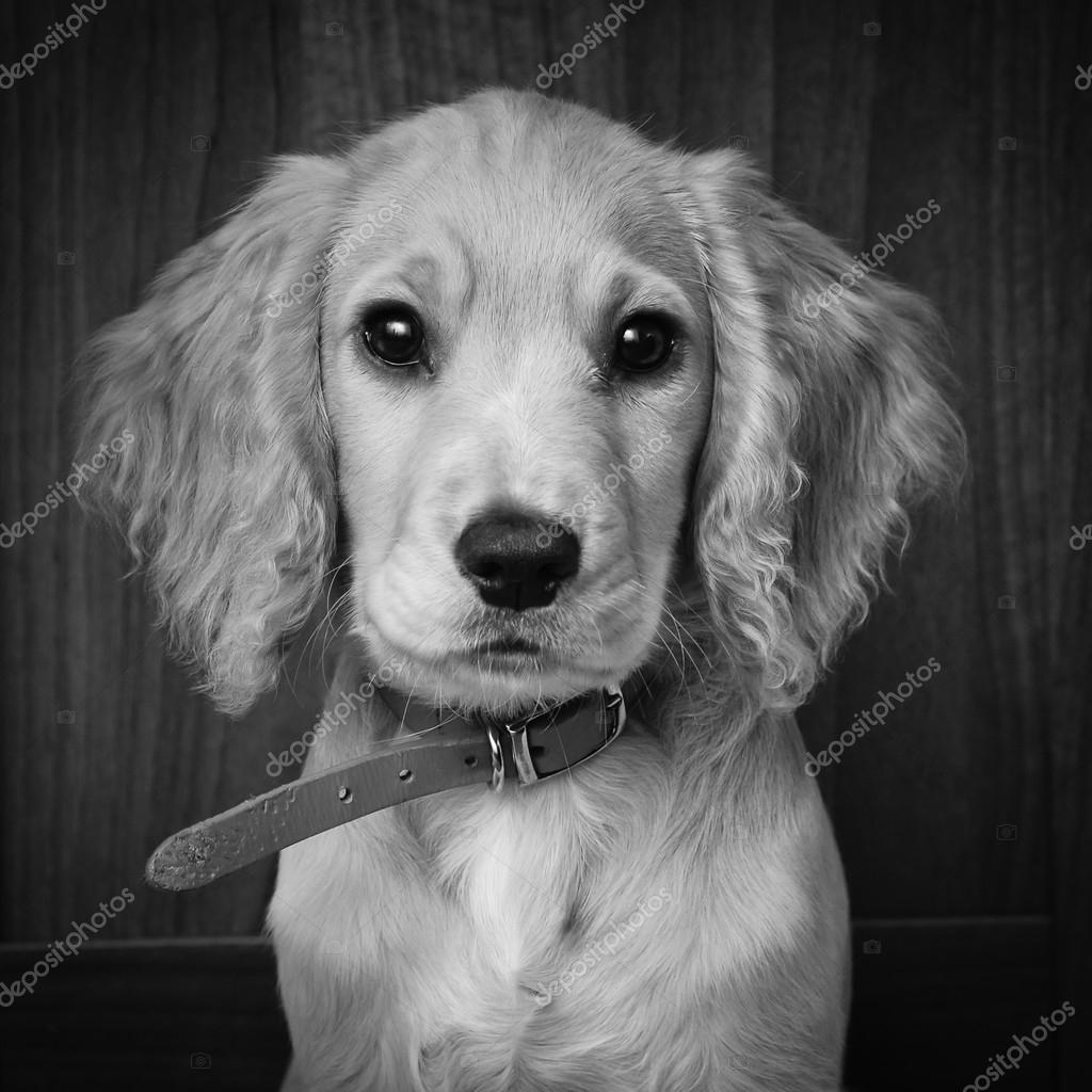 Cocker Spaniel Pup Black And White Portrait Stock Photo C Dambuster 95204974