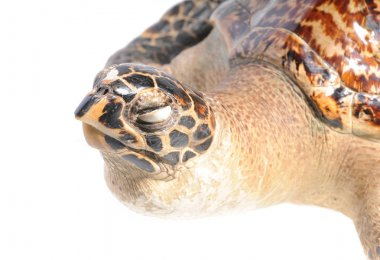 illegal mounted hawksbill sea turtle - critically endangered sea