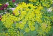 dill plant, Anethum graveolens