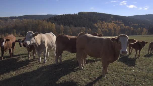 Podzimní slunné pastviny s krávy v horách