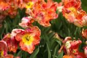 tulipánok a Keukenhof park