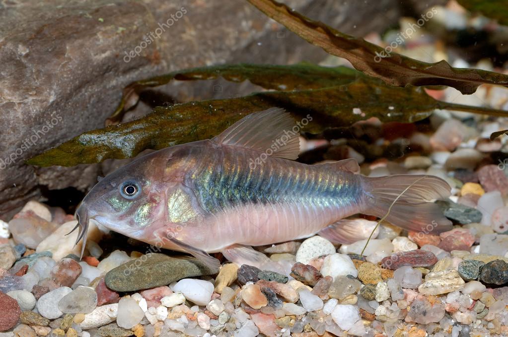 Corydoras pesce gatto foto stock neryx 63772203 for Pesce gatto acquario