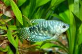 Trichopodus ryby
